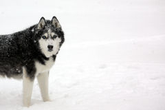 Husky Covered in Snow Royalty Free Stock Images