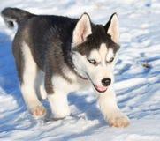 Husky cub Stock Image