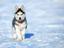 Husky cub. Enjoying the first snow royalty free stock images