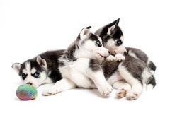 Husky cubs playing with a ball in studio Royalty Free Stock Photos