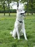 Husky Cute Dog Stock Image