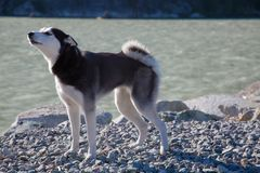 Husky del cane che urla all'aperto oceano da solo Fotografia Stock