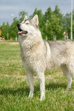 Husky del cane in natura immagini stock libere da diritti