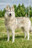 Husky del cane in natura immagine stock libera da diritti