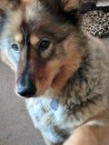 Husky del cucciolo fotografia stock