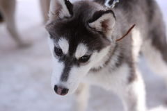 Husky del cucciolo Immagini Stock Libere da Diritti