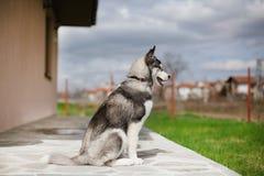 Husky del cucciolo che guarda da parte Immagini Stock Libere da Diritti