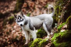 Husky del cucciolo su neve Immagine Stock Libera da Diritti