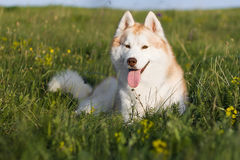 Husky del Fawn Fotografie Stock