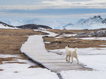 Husky della Groenlandia in Ilulissat Groenlandia Fotografia Stock