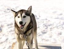 Husky di Kamchatka in scuola materna per i cani Fotografia Stock Libera da Diritti