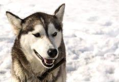 Husky di Kamchatka in scuola materna per i cani Immagini Stock Libere da Diritti