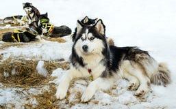 Husky di razza che si trova sulla neve immagine stock