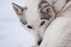 Husky with different colored eyes Royalty Free Stock Image