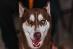 Husky  with different eye colors stock photos