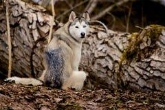 Husky With Different Eyes Fotografía de archivo