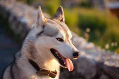 Husky Stock Photo
