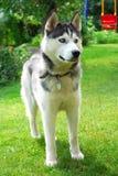 Husky Dog Royalty Free Stock Photo