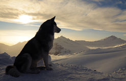 Husky dog. On the Caucasus Mountains