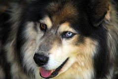 Husky dog. A close-up of a Husky dog with a blue and brown eye stock photos
