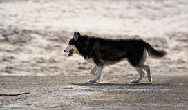 Husky dog. In the beach Royalty Free Stock Photography
