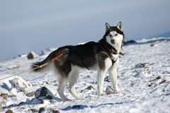 Husky dog. During the winter Stock Image