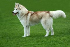 Husky Dog. Lovely brown and white Husky dog standing on green lawn Royalty Free Stock Photography