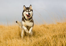 Husky dog Stock Image