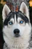 Husky dog. Close up photo of a Husky dog in the forest Stock Photo