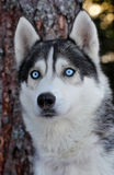 Husky dog. Close up photo of a Husky dog in forest Royalty Free Stock Image