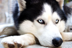 Husky Dog. Blue eyes sad look stock images