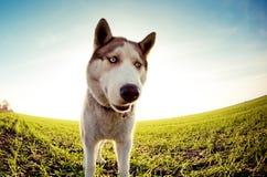 Husky dog. Close up photo of a Husky dog Royalty Free Stock Photo