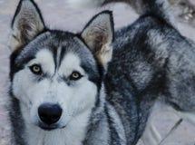 Husky Dog Fotografia Stock