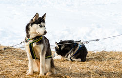 Husky dog Royalty Free Stock Photos