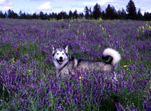 Husky dog. In field of purple vetch. Elk,Wa Stock Photo