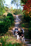Husky dog. A husky dog in the park royalty free stock images