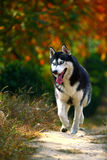Husky dog Royalty Free Stock Image