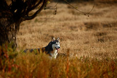 Husky dog. A husky dog in wilderness royalty free stock photos