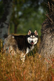 Husky dog. A husky dog in wilderness stock photos