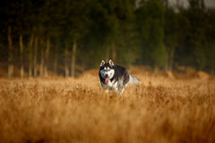 Husky dog. A husky dog in wilderness royalty free stock image