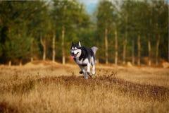 Husky dog. A husky dog in wilderness stock photography