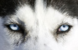 Husky dog. Close up on blue eyes of a husky Royalty Free Stock Image