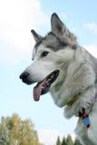 Husky dog against the sky. Happy husky dog with big tongue against the sky Stock Photo