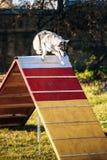 Husky in Dog agility, dog sport Royalty Free Stock Photos
