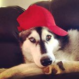 Husky dog in baseball cap Stock Photography