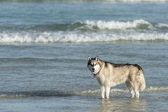 Husky dog on beach Stock Image