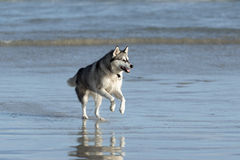 Husky dog on beach Royalty Free Stock Photography