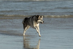 Husky dog on beach Stock Photos