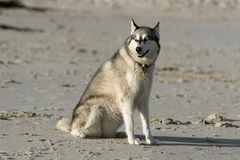 Husky dog on beach Royalty Free Stock Image