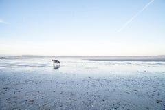 Husky dog on beach at sunset. A husky dog on a sandy beach at sunset Stock Image